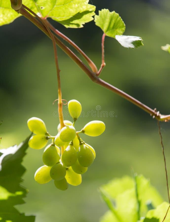 在自然的绿色葡萄 免版税图库摄影