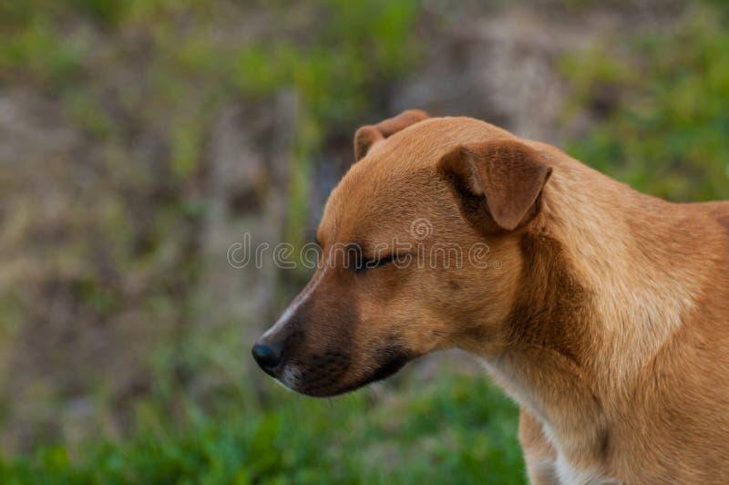 在自然的美丽的橙色狗 绿草围拢的狗 ?? 图库摄影