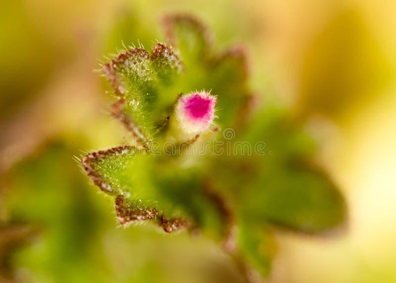 在自然的美丽的矮小的桃红色花 宏指令 免版税库存图片