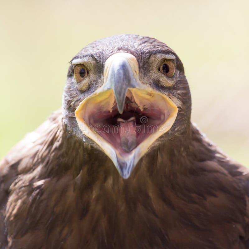 在自然的老鹰画象 免版税图库摄影