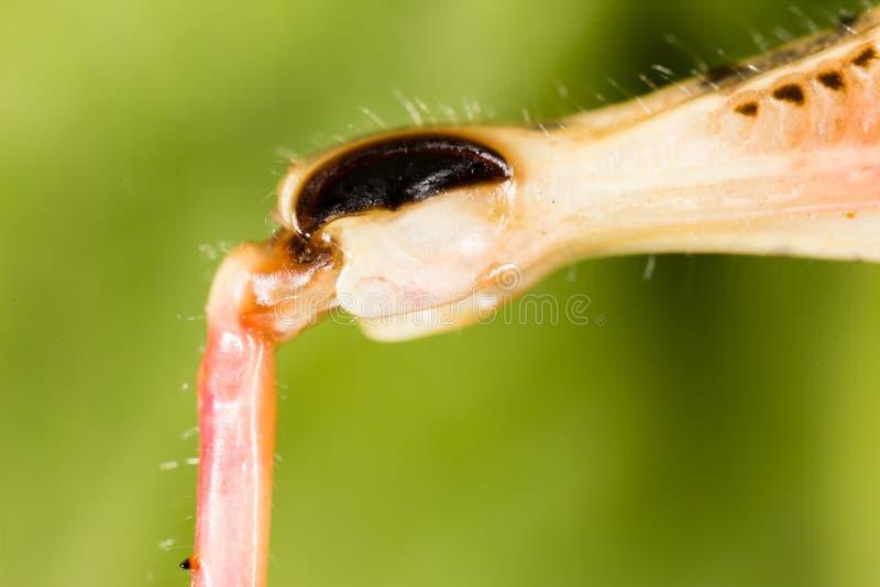 在自然的蚂蚱` s爪子 库存图片