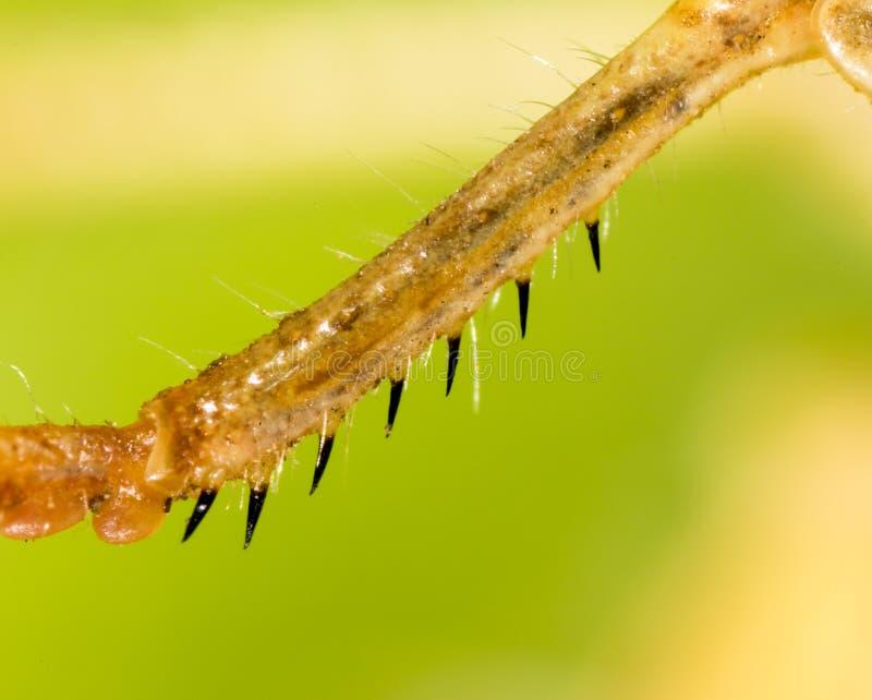 在自然的蚂蚱` s爪子 免版税库存照片