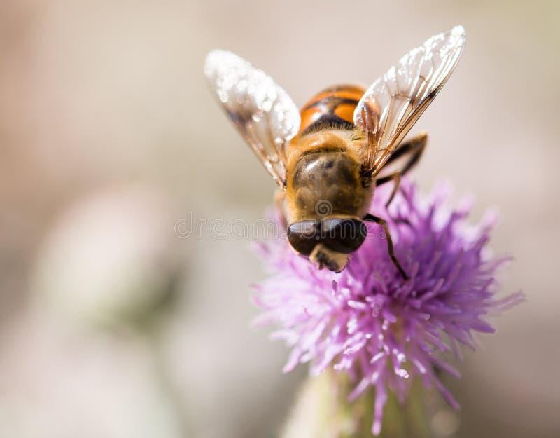 在自然的蜂 宏指令 库存图片