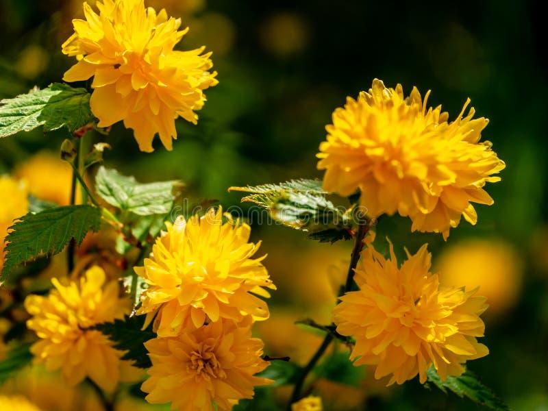 在自然的被弄脏的日本kerria或Kerria japonica pleniflora明亮的黄色花前景的选择聚焦  图库摄影