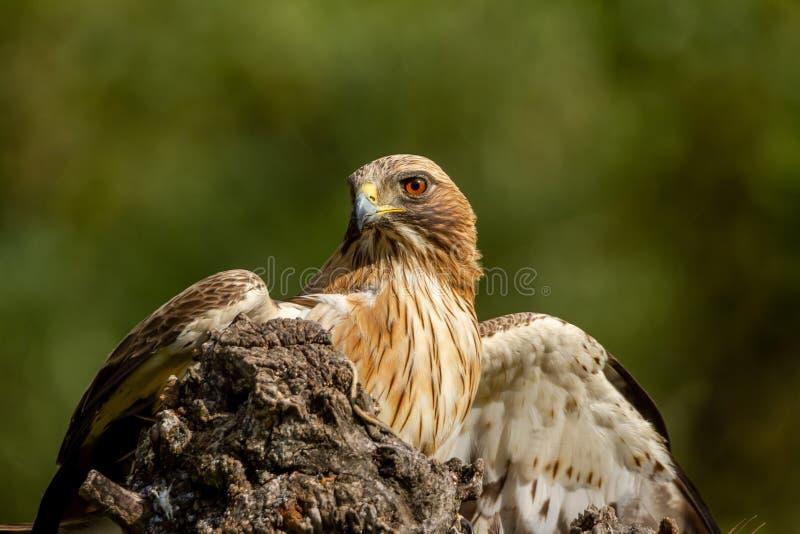 在自然的被解雇的老鹰Hieraaetus pennatus,西班牙 库存照片