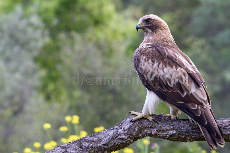 在自然的被解雇的老鹰Hieraaetus pennatus,西班牙 免版税库存图片