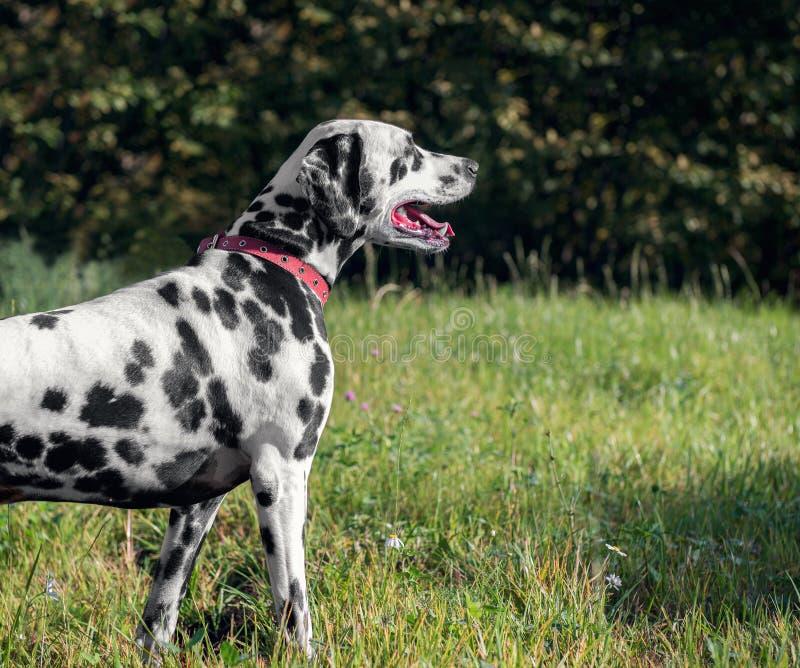 在自然的达尔马希亚狗 免版税图库摄影