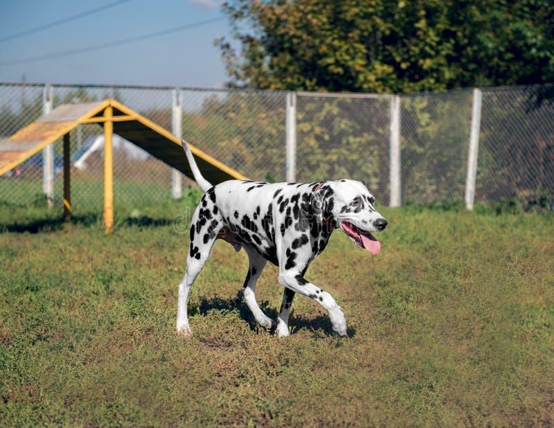 在自然的达尔马提亚狗 免版税库存照片