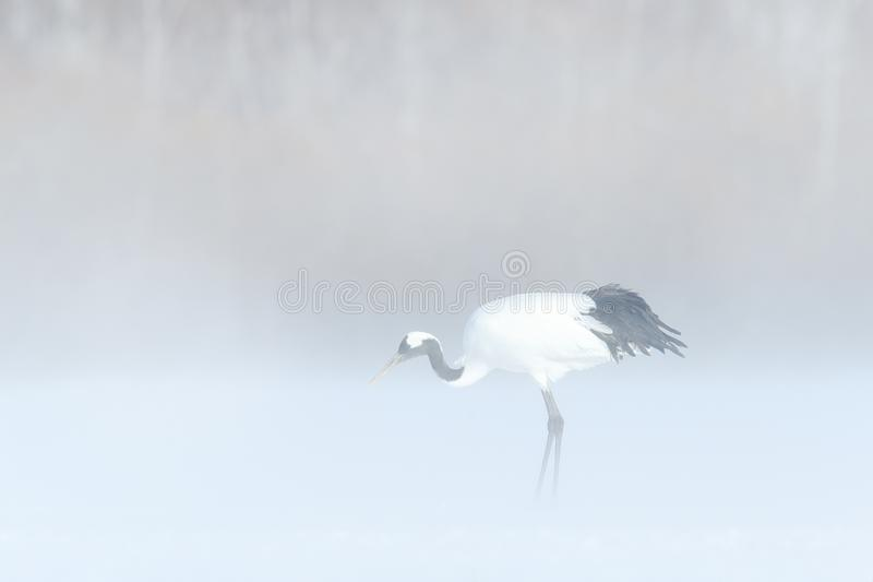 在自然的雪风暴 红被加冠的起重机,粗碎屑japonensis,走在雪,北海道,日本 在自然的美丽的鸟 库存图片