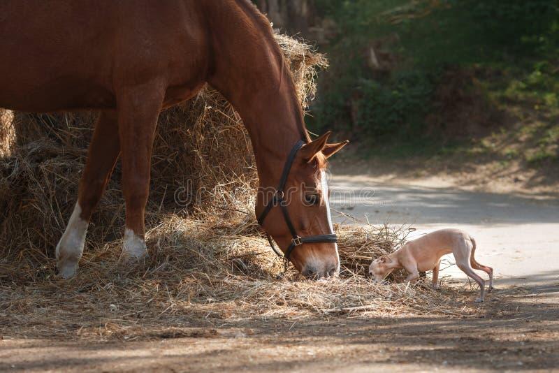 在自然的马 马的画象,棕色马,马在小牧场站立 库存照片