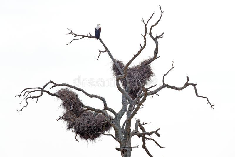 在自然的黑白艺术视图 非洲鱼鹰, Haliaeetus vocifer,坐与大teo巢的老干燥树,克鲁格 免版税库存照片