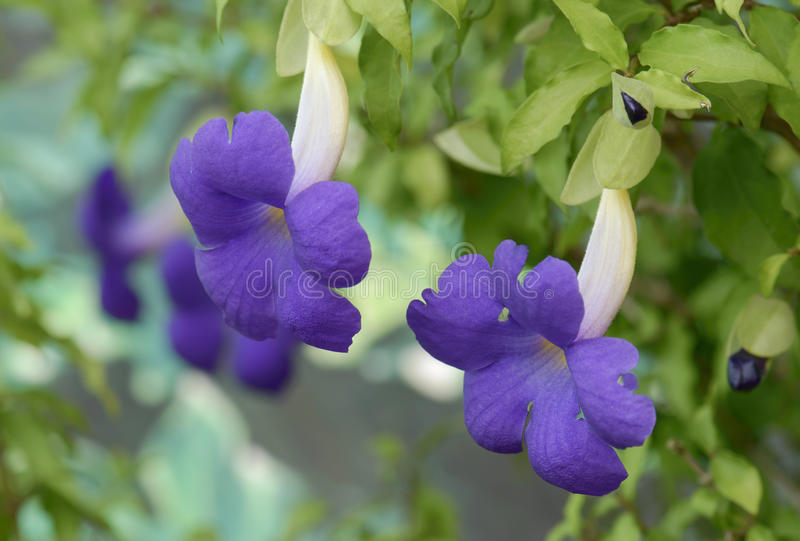 在自然的紫色喇叭花 图库摄影