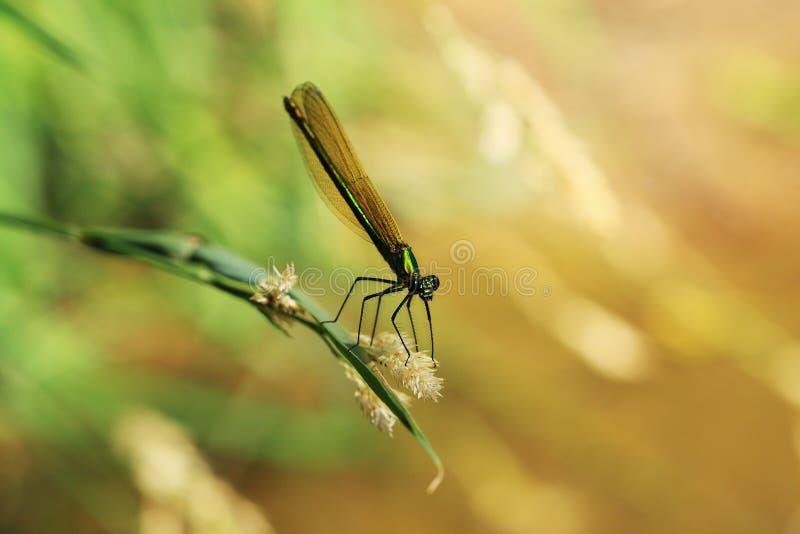 在自然的蜻蜓 免版税库存图片