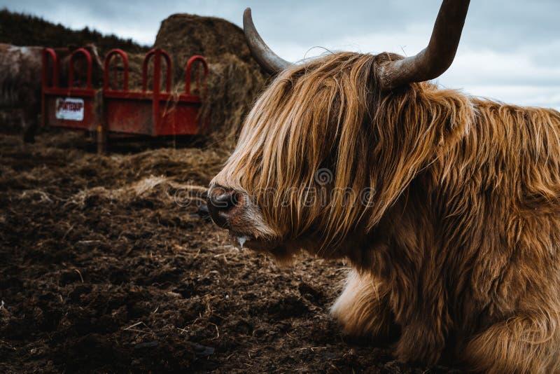 在自然的Scotish Higland牛 免版税库存图片