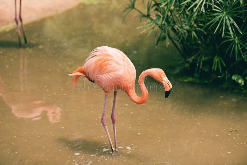 在自然绿色热带植物背景-加勒比火鸟的火鸟桔子 库存照片