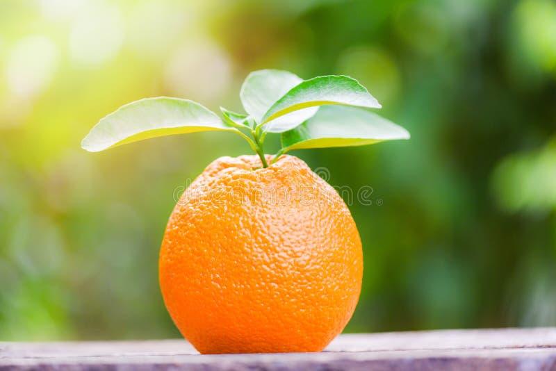 在自然绿色背景在夏天-与叶子的新鲜的桔子的橙色果子在庭院果树园 免版税库存图片