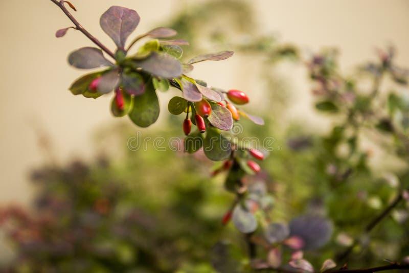 在自然绿色背景的伏牛花分支 伏牛花莓果丛生花卉秋天季节 免版税库存图片