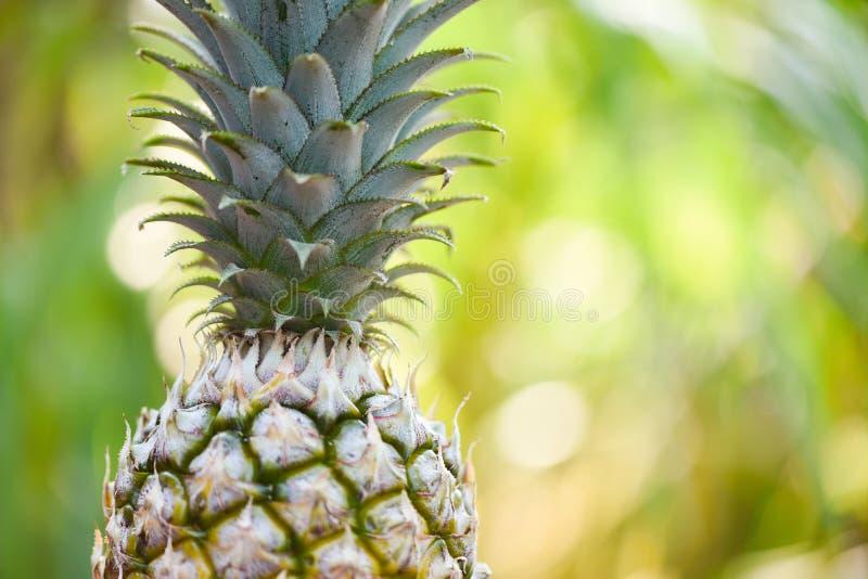 在自然背景关闭的新鲜的菠萝菠萝热带水果 免版税图库摄影