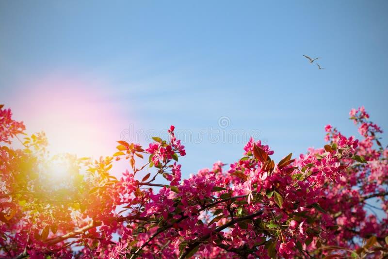 在自然背景的开花树 与开花的树,花和阳光的美好的春天场面在迷离样式