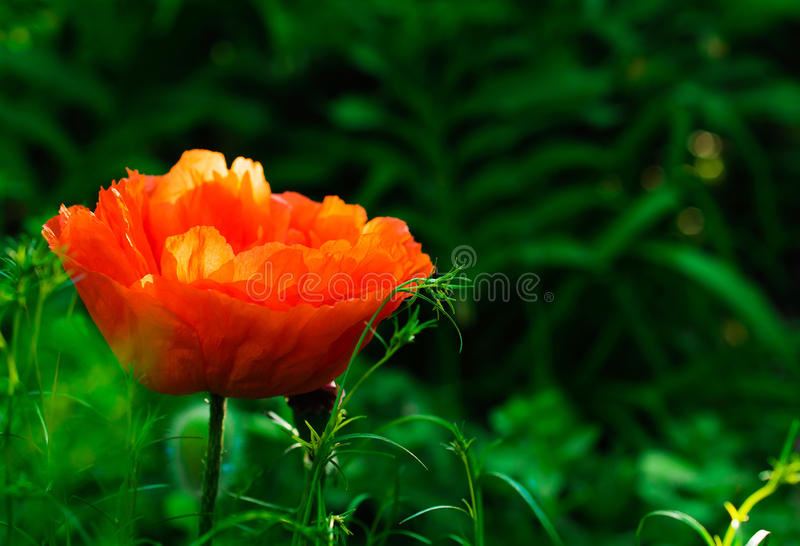 Download 在自然背景的红色鸦片花 库存图片. 图片 包括有 开花, 本质, 装饰, 季节, 春天, 绿色, 鸦片, 背包 - 72366565