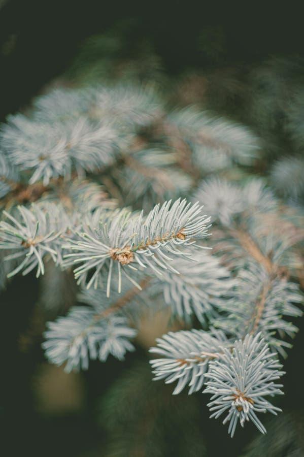在自然软的焦点背景的常青蓝色云杉的分支 库存照片