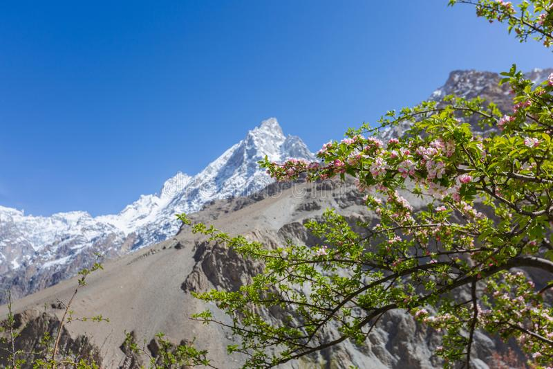 在自然雪山的开花苹果 免版税库存照片