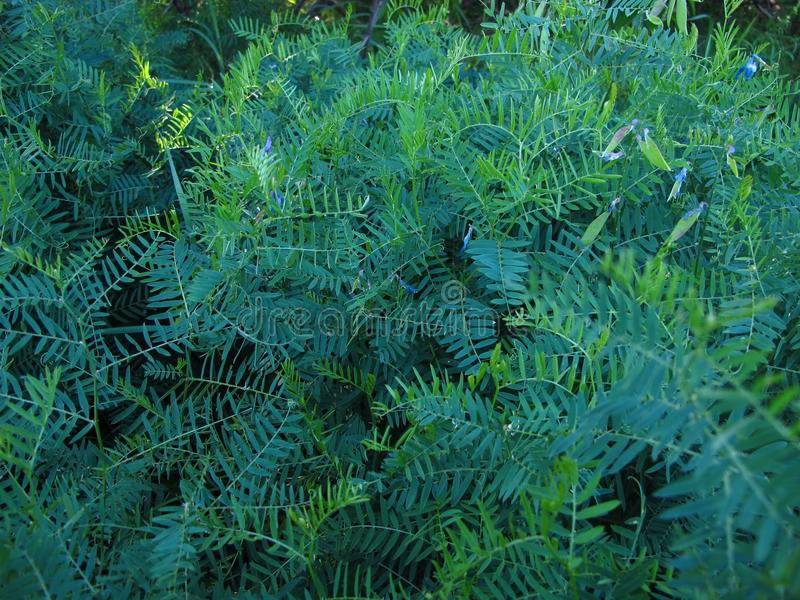 在自然,在与花的一棵草地早熟禾绿色蕨 库存图片