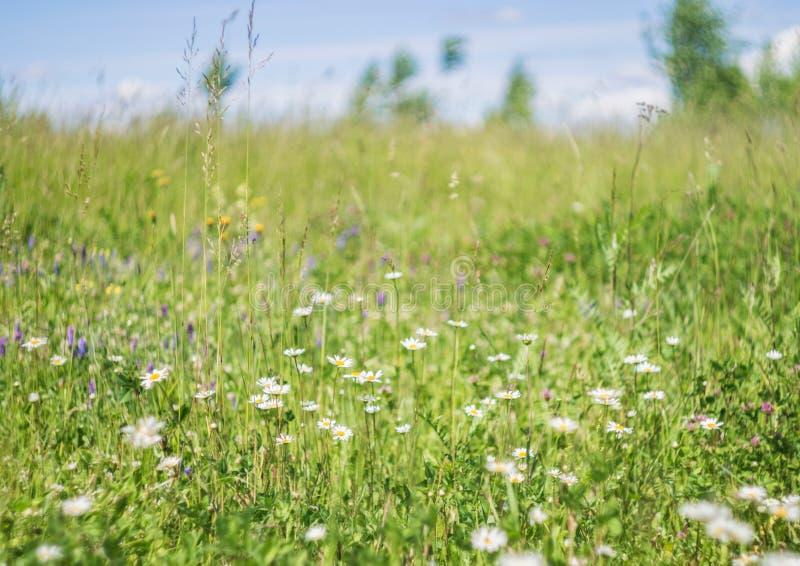 在自然,花草甸的绿草和春黄菊花,反弹花卉风景 免版税库存图片
