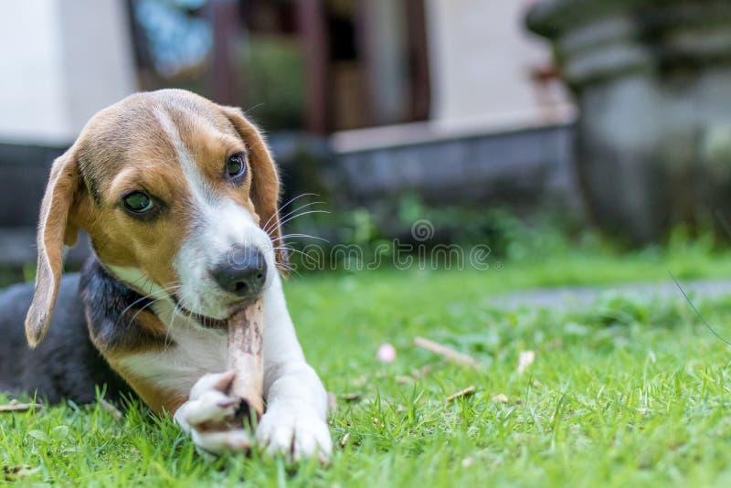 在自然绿色背景的逗人喜爱的小狗品种小猎犬狗 热带海岛巴厘岛,印度尼西亚 免版税库存图片