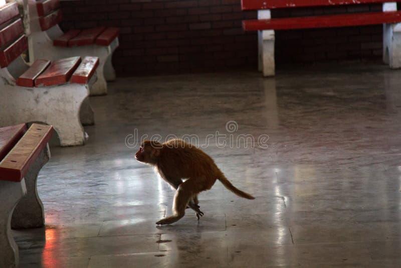 在自由秋天的猴子 搞笑照片 库存图片