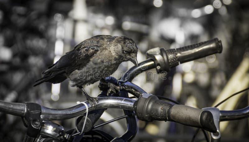 在自行车把手的西部寒鸦 图库摄影