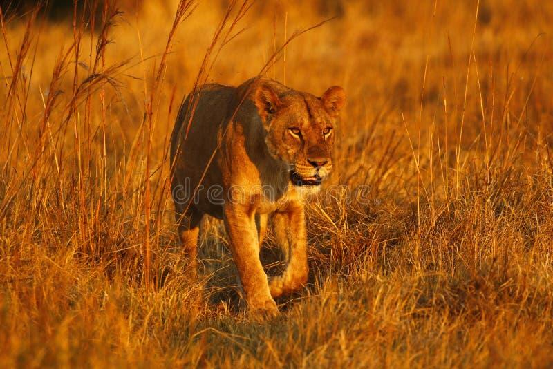 在自豪感的雄伟幼小母狮子 免版税库存图片