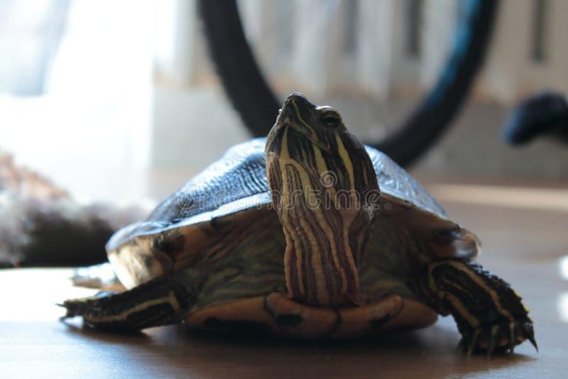 在舱内甲板的乌龟 免版税库存照片