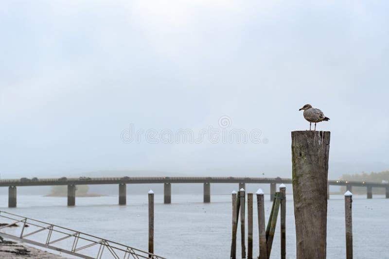在船坞打桩的海鸥立场在有雾的Sheepscot河 免版税库存图片