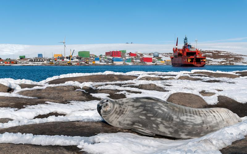 在船RSV南极光,莫森驻地,南极洲前面的成人Weddell封印 免版税图库摄影