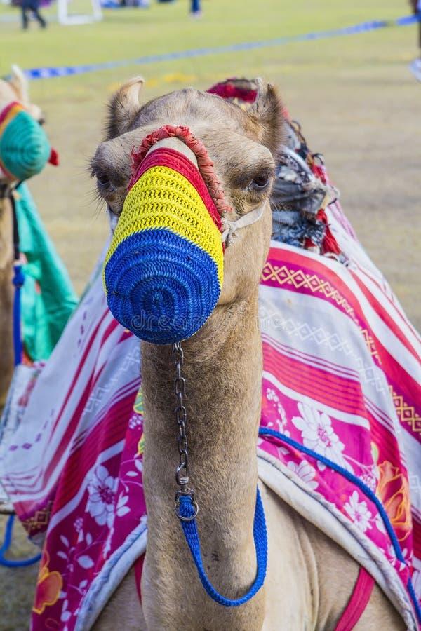 在色的枪口的被备鞍的骆驼 图库摄影
