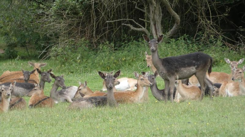 在艾塞克斯wilds的鹿群獐鹿  免版税图库摄影