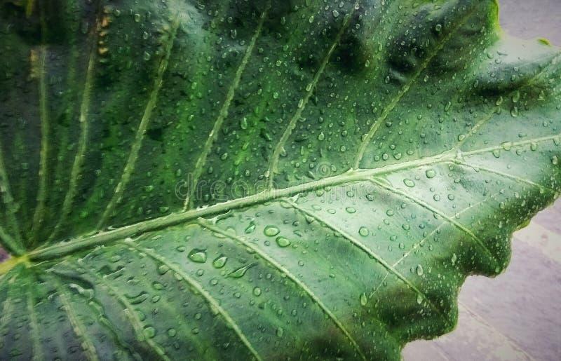 在芋头叶子的雨下落 免版税库存图片