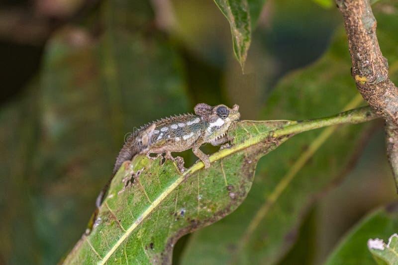 在芒果树叶子的Trioceros hoehnelii,头盔状或者高的casqued变色蜥蜴 免版税库存照片