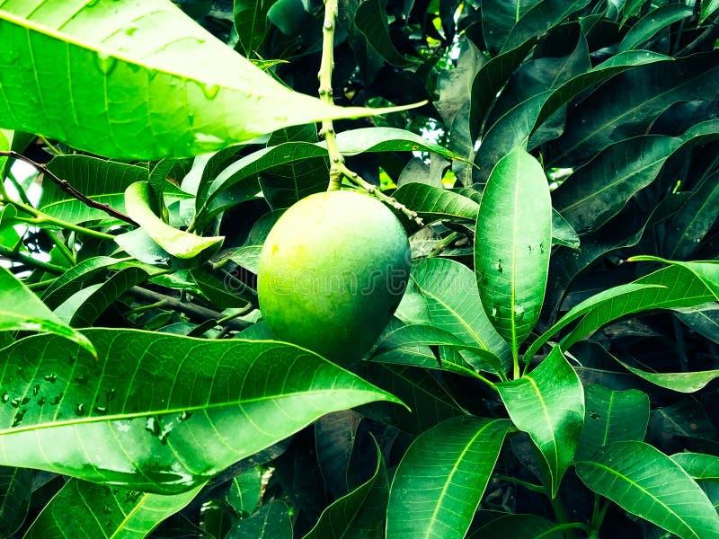 在芒果树的芒果围拢了withMango花开花,Aam钾Manzar 库存图片