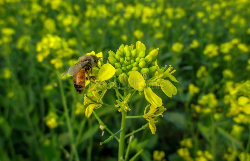 在芥末花的蜂蜜蜂有绿色和黄色背景 免版税图库摄影