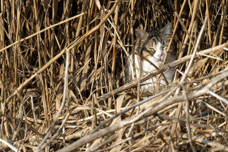 在芦苇中被伪装的野生猫寻找小鸟 免版税库存照片