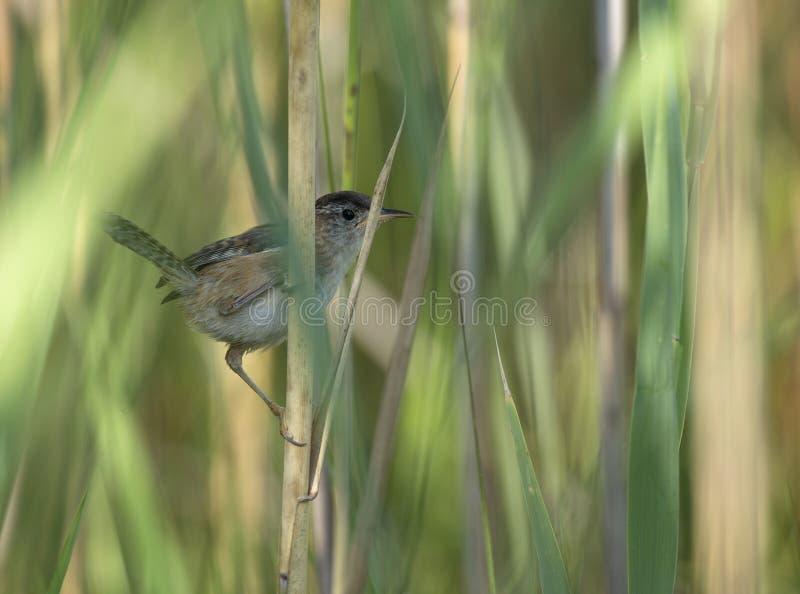 在芦苇栖息的沼泽鹪鹩 库存照片