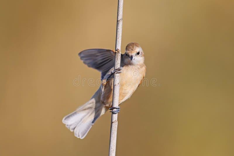 在芦苇的一只年轻pendulin山雀 库存图片