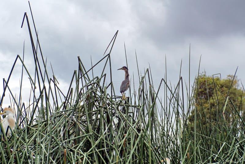 在芦苇的条纹的苍鹭 库存照片