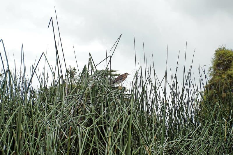 在芦苇的条纹的苍鹭 库存图片