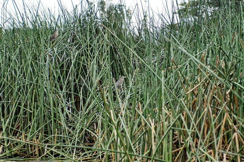 在芦苇的条纹的苍鹭 免版税库存照片