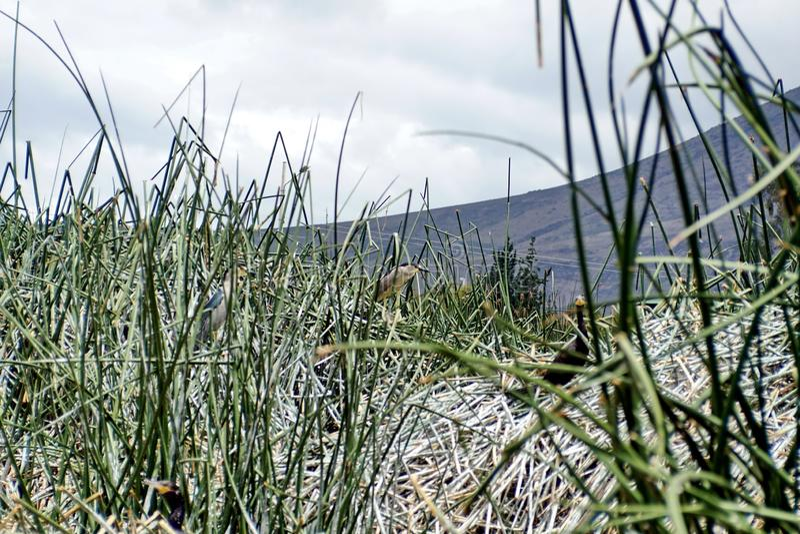 在芦苇的条纹的苍鹭 免版税图库摄影