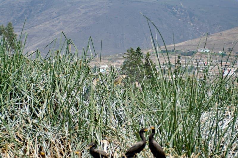 在芦苇的条纹的苍鹭 图库摄影