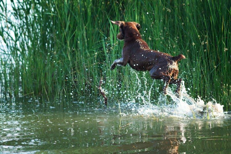 在芦苇的狗狩猎在水中 免版税库存照片